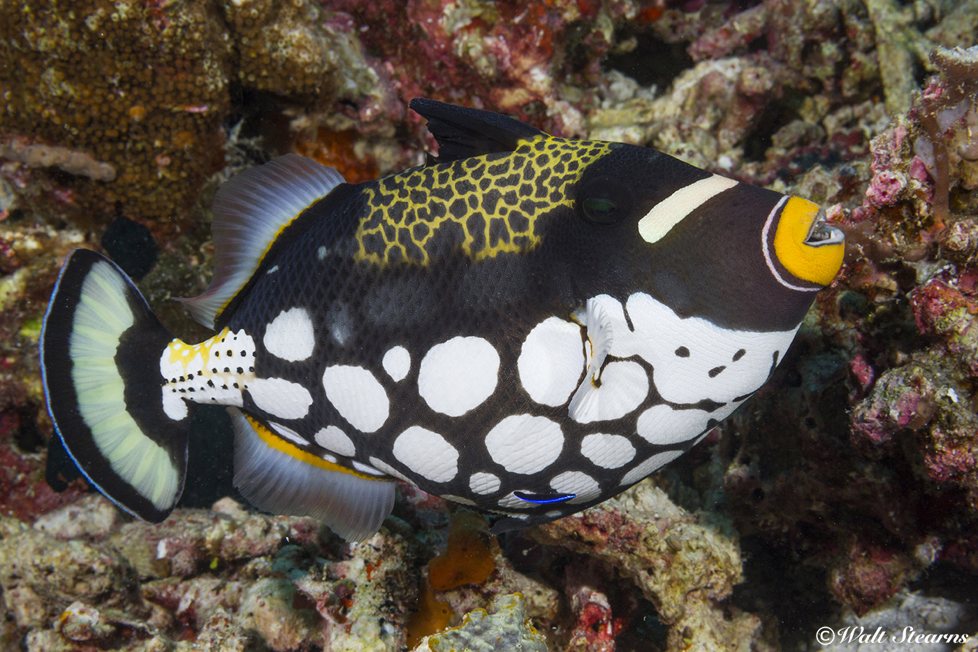 The bright colors and patterns of the clown triggerfish make it a prize subject for underwater photographers. Unfortunately, these same attributes make it a target for the aquarium trade.