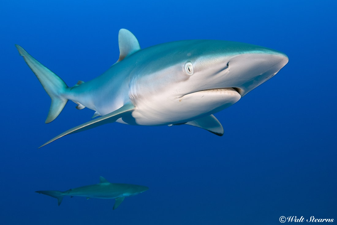 Curious silky sharks are often found on the reefs of Cuba's Garden of the Queens.