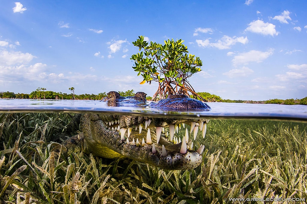 The shallow seagrass beds of the Garden of the Queens are home to North American crocodiles. Despite their fearsome appearance, they can be approached safely.
