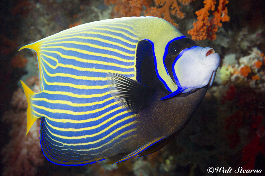 Emperor Angelfish in Raja Ampat