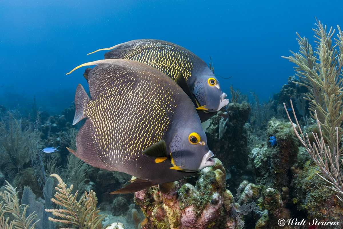 French angelfish patrol the reefs of Turneffe Atoll. These fish form monogamous bonds, and often travel and hunt in pairs.