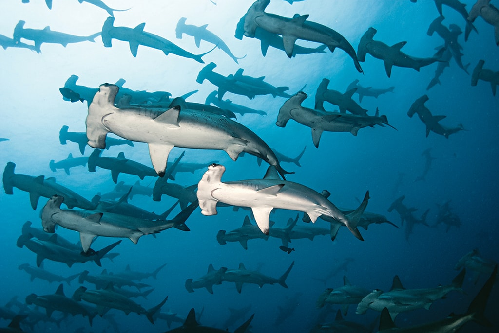 The Galapagos Islands are one of the very few places in the world where divers can witness schooling hammerhead sharks.