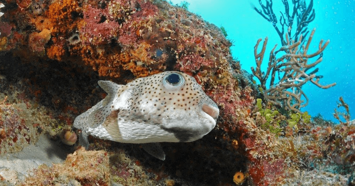 Diving with Antidote in Port Louis on Grande-Terre is filled with marine life encounters such as this friendly pufferfish.