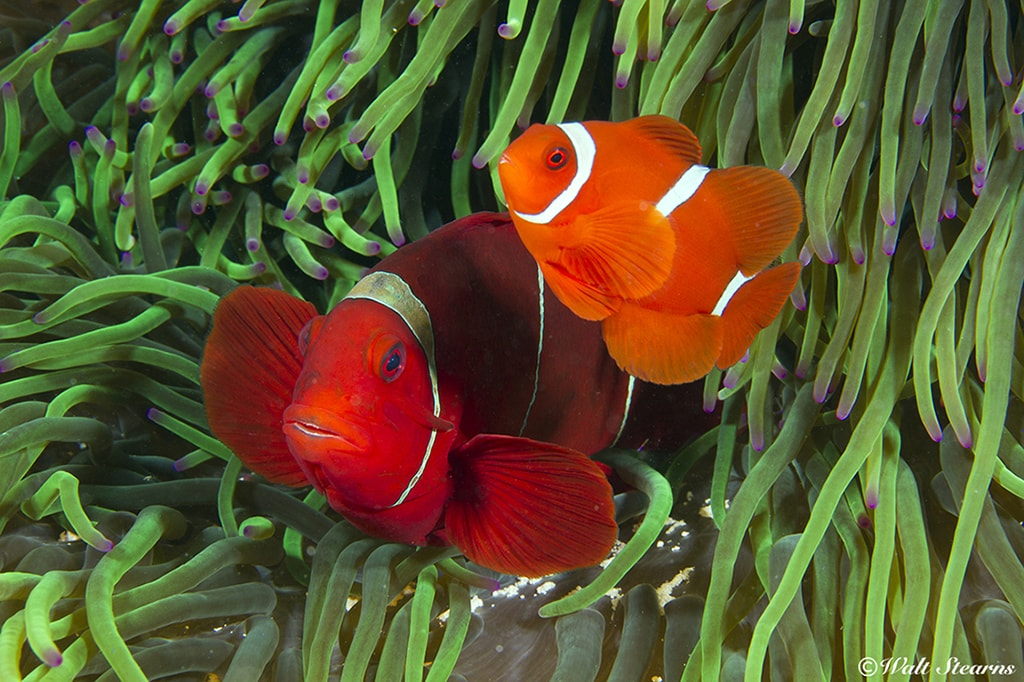 The reefs of Indonesia are some of the most colorful and bio-diverse on earth, holding numerous prizes such as these clownfish.