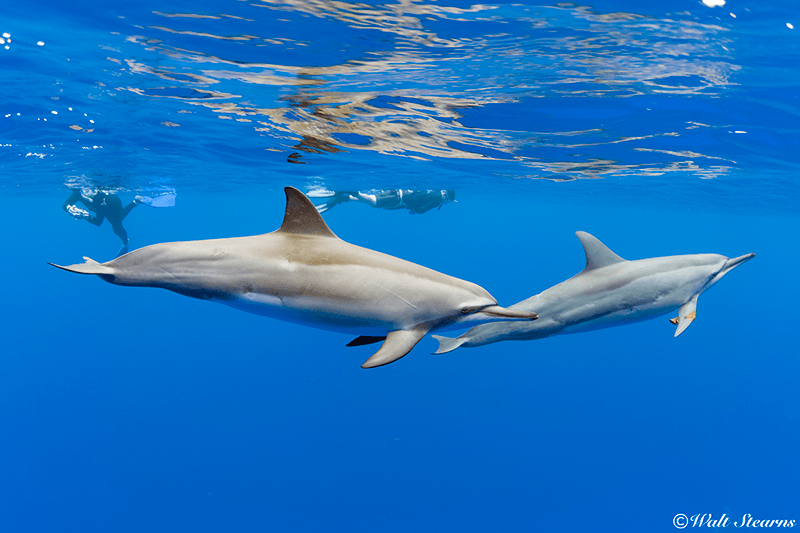 In a number of sheltered bays in the islands of Hawaii, snorkelers have a unique opportunity to snorkel with wild spinner dolphins in the animals' natural environment.