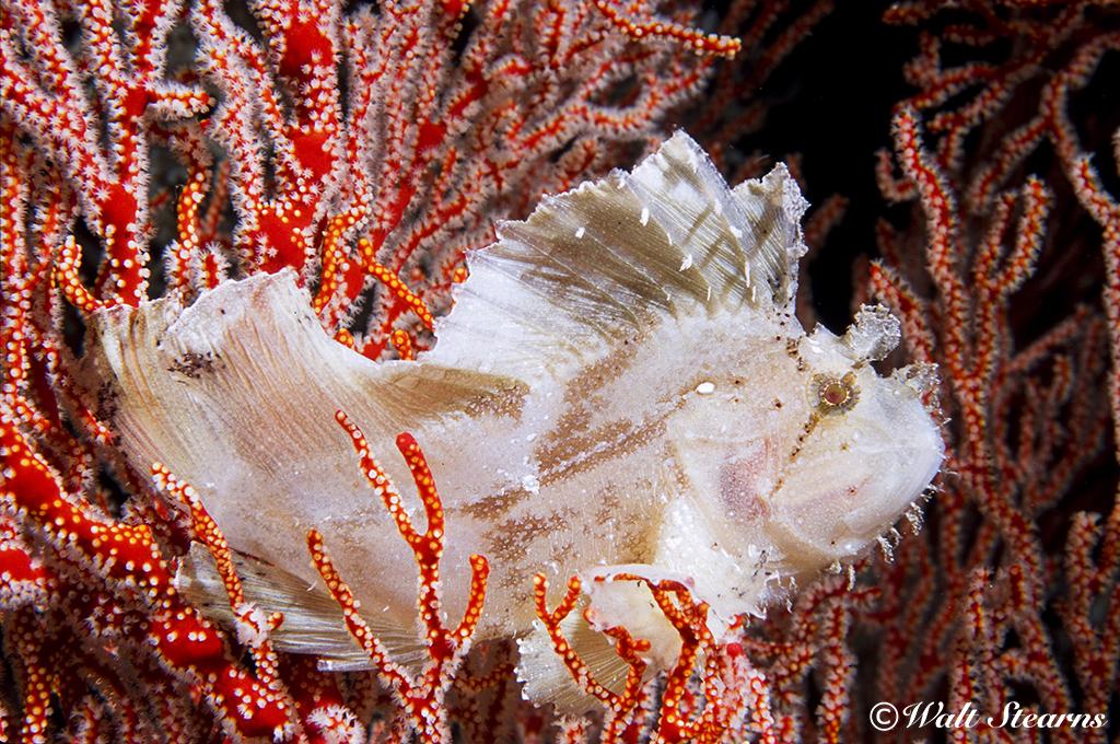 Leaf Scorpionfish in Raja Ampat