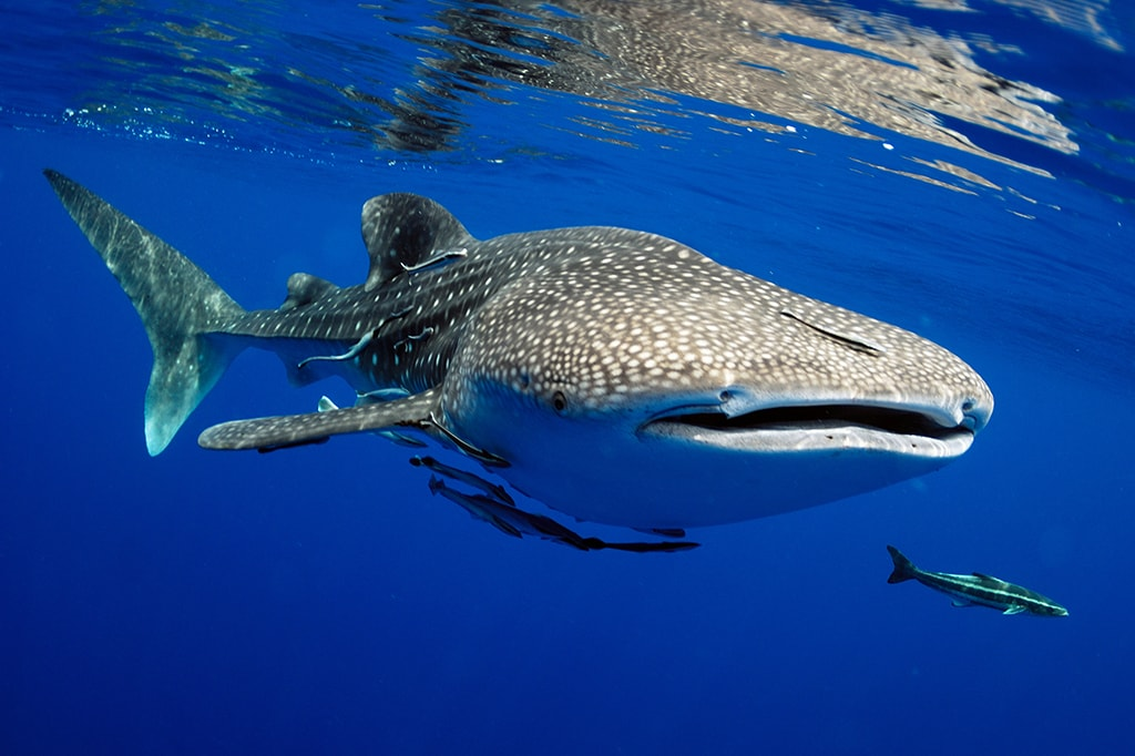 The Maldives are among the best destinations in the world for whale shark encounters.