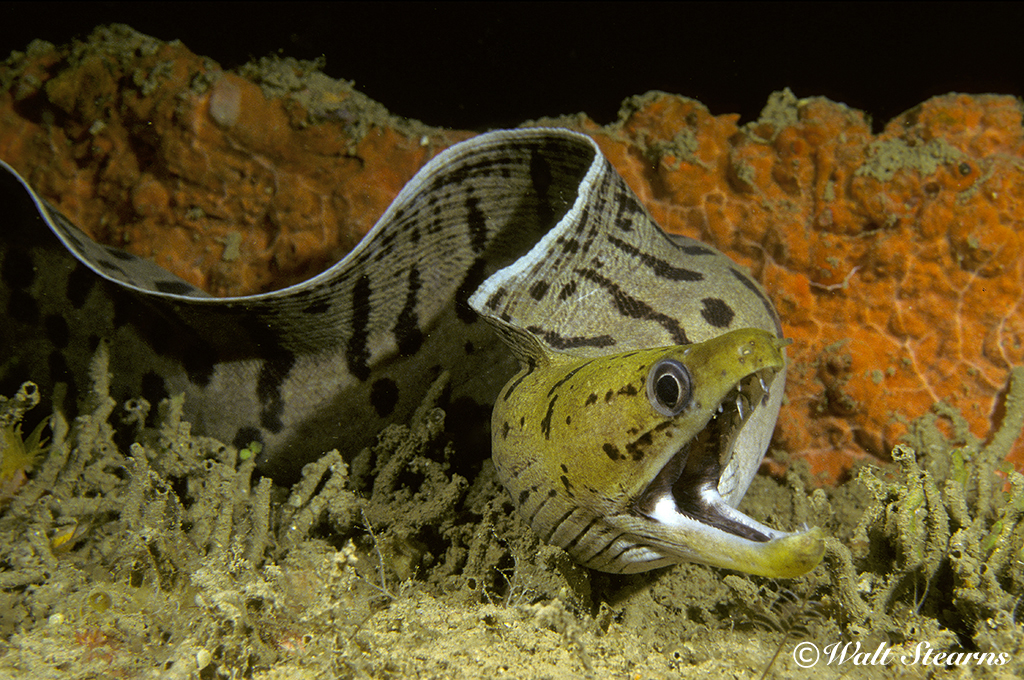 Moray Eel on a Nocturnal Prowl in Raja Ampat