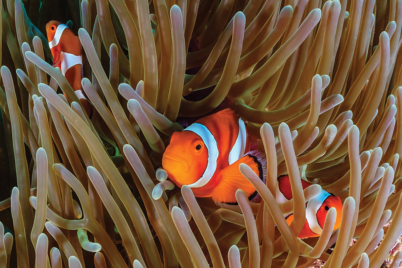 Like Nemo, their iconic animated counterpart, clownfish make their homes within the tentacles of anemones, which are common to the Great Barrier Reef.