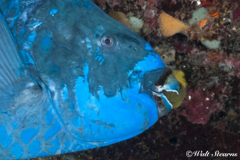 Parrotfish Beak