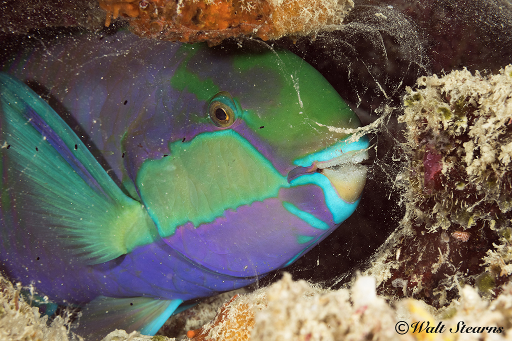Parrotfish Cocoon
