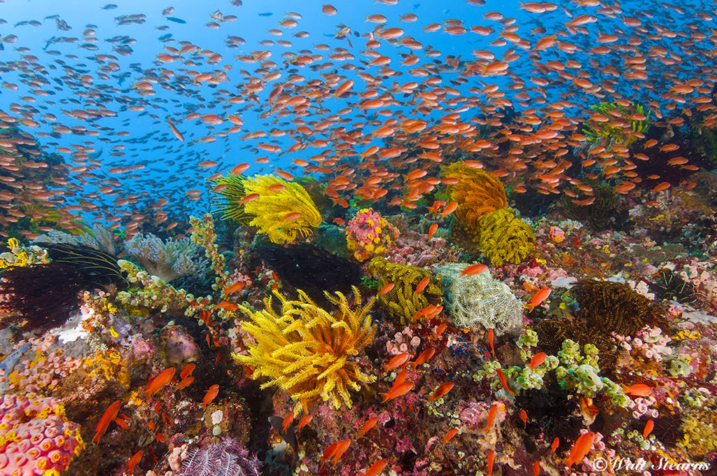 A coral reef in the waters of Anilao provides a colorful contrast to the region's muck diving sites.