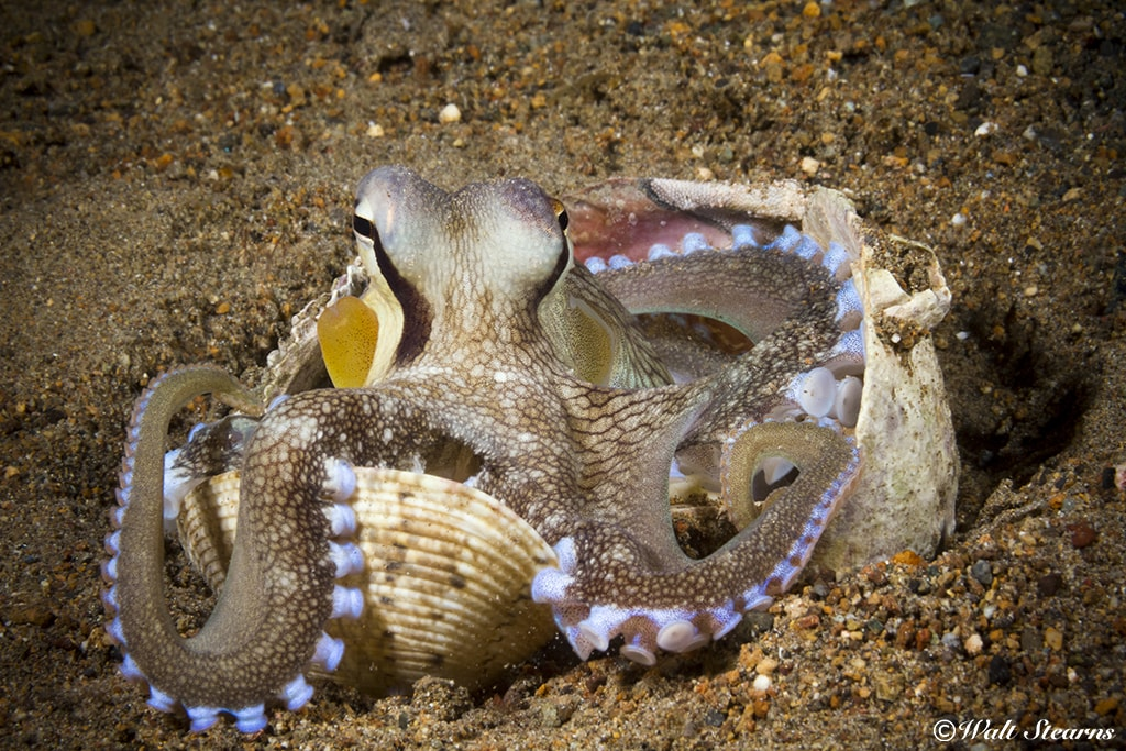 Coconut octopus is entertaining to watch and make prized photo subjects.