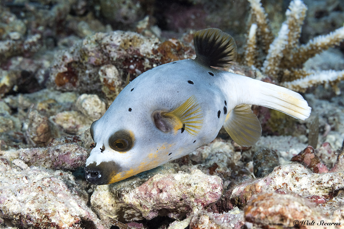 Blackspotted puffers feature the classically rounded body characteristic of the pufferfish family. The tail is mainly used as a rudder unless bursts of speed are needed.
