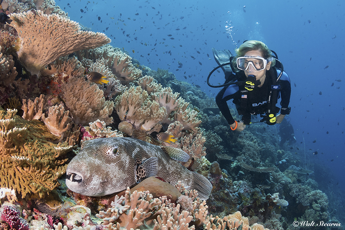 A diver encounters a giant pufferfish on a reef in Indonesia. This species can grow to lengths of 20 feet.