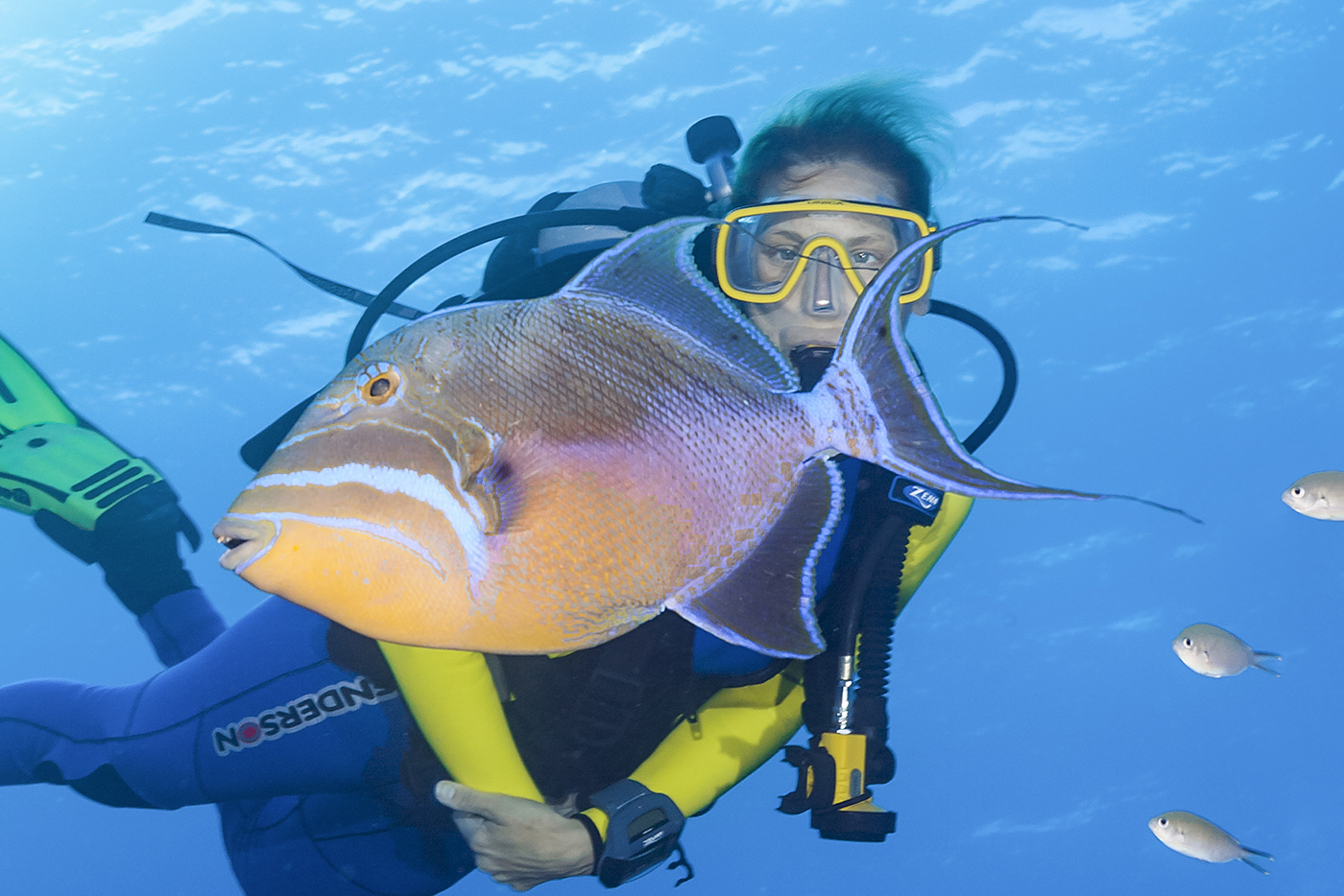 The queen triggerfish is one of the larger species found on Caribbean reefs, reaching lengths of up to two feet. This fish can lighten or darken its coloration depending on its mood.