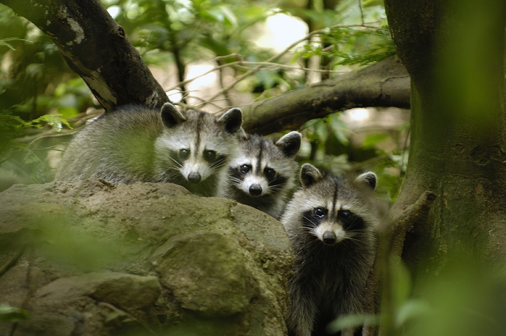 The raccoons of Guadeloupe have become the icon of the country's national park.
