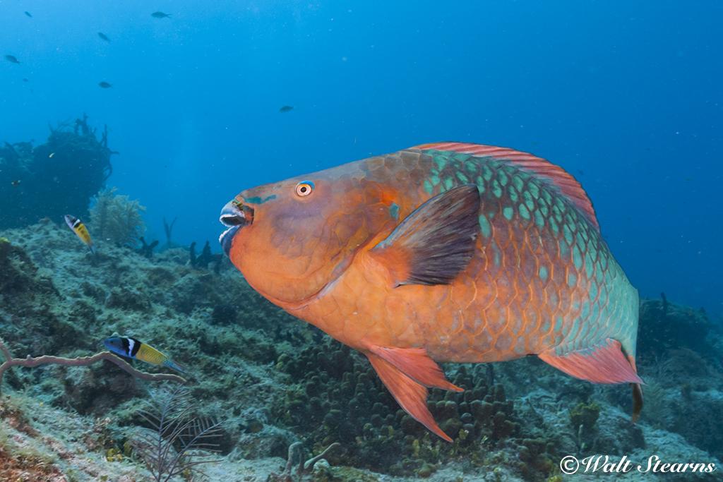 Rainbow Parrotfish
