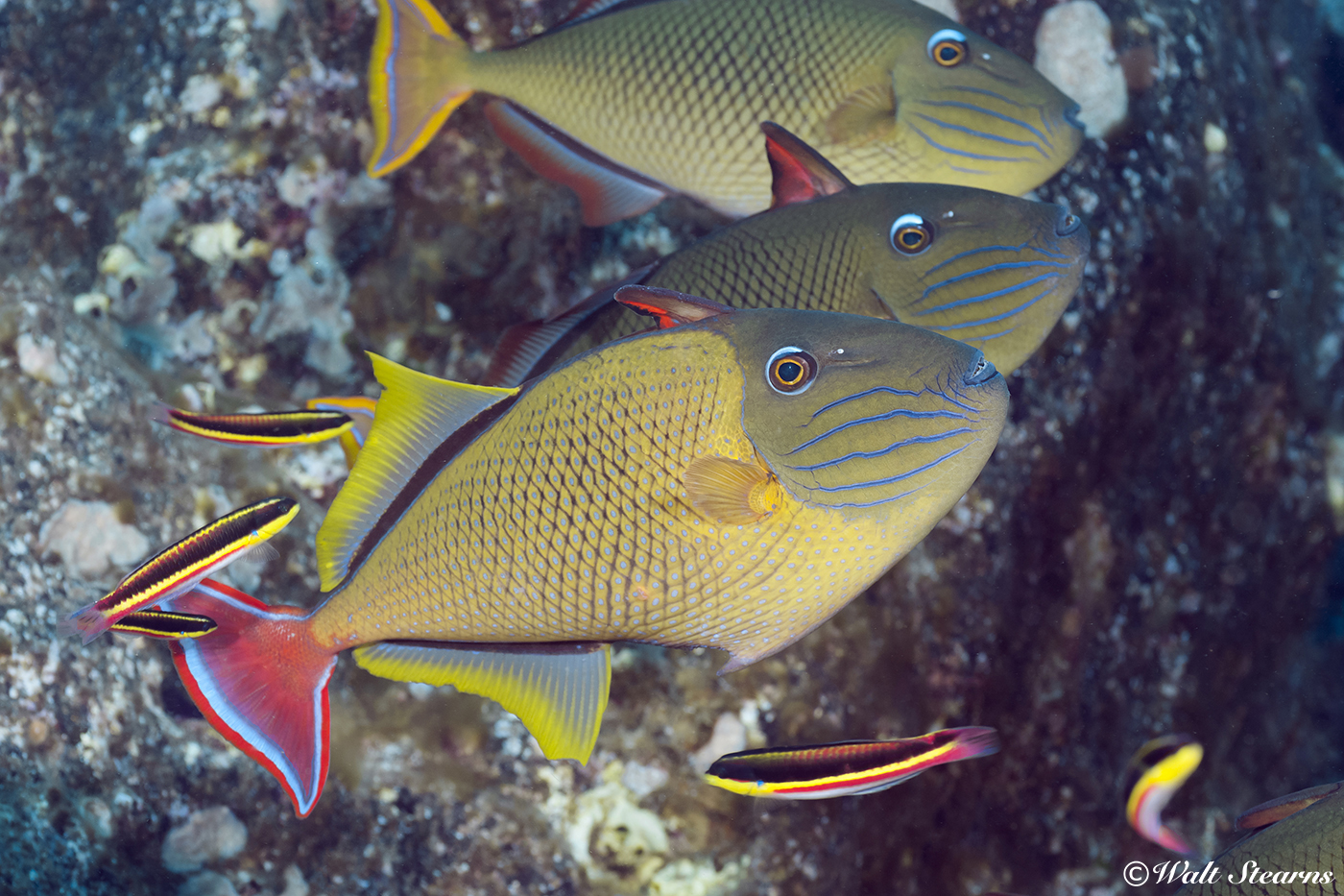 A trio of redtail triggerfish hunt on an Indonesian reef. Females of this species show a slate gray to blue ground color and tail.