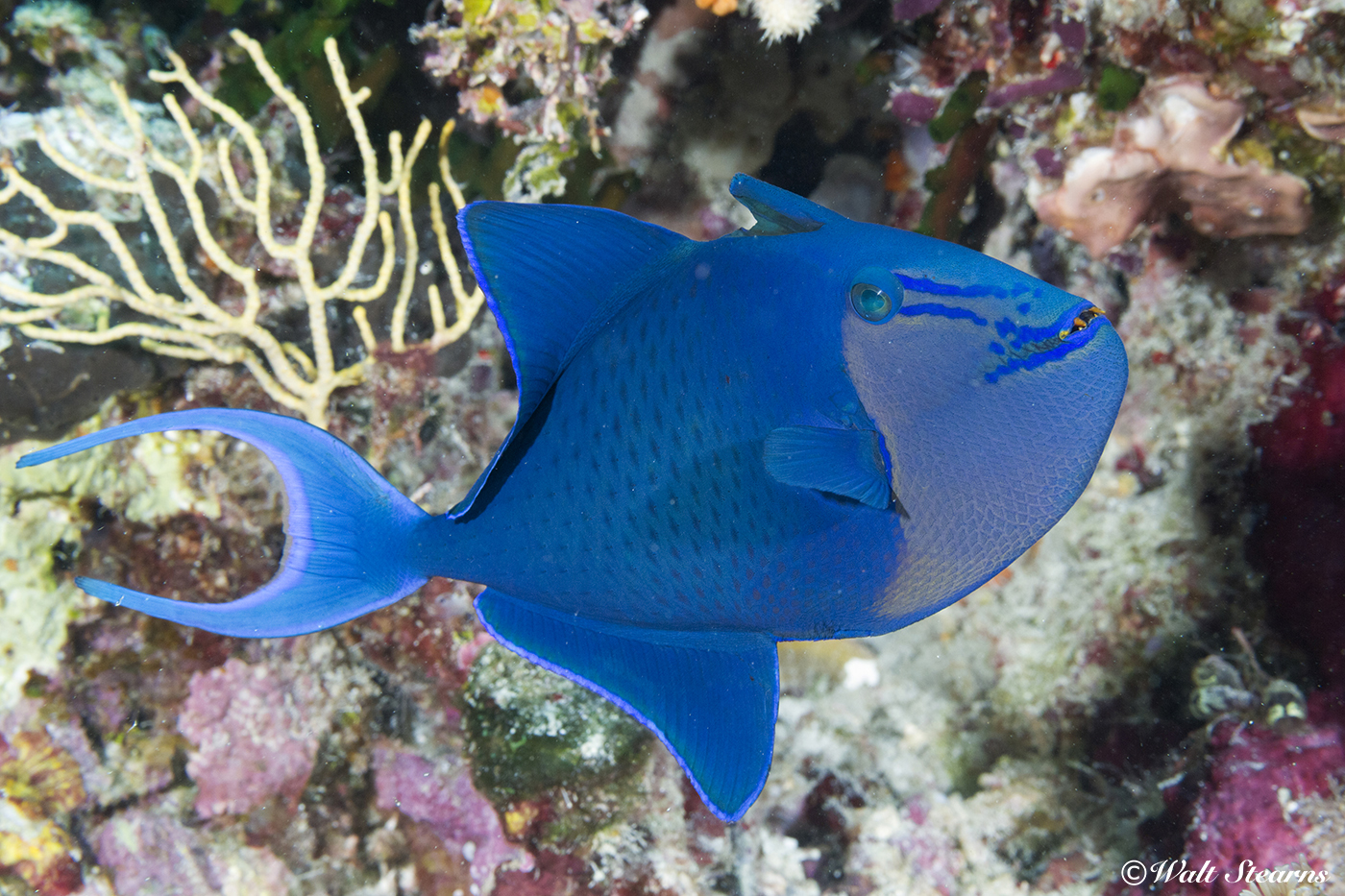 The redtooth triggerfish's fang-like front teeth give it an almost demonic appearance. In reality, it is one of the more docile members of the triggerfish family. These fish are often found in groups, feeding on plankton in the open water, or nibbling on