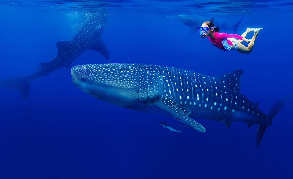 A signature adventure of Mexico's Rivera Maya is the chance to swim with whale sharks.