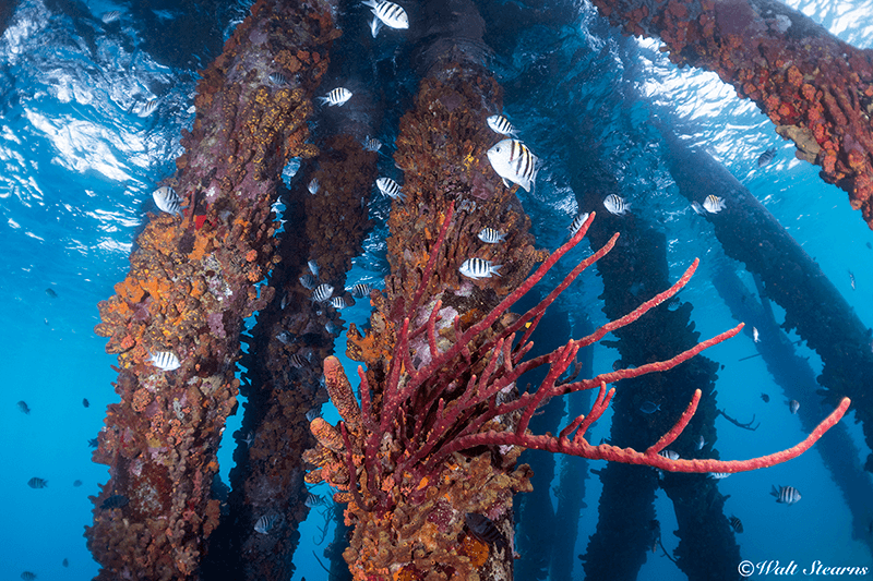 The sponge and coral-encrusted pilings of Salt Pier create an intriguing underwater environment for snorkelers.
