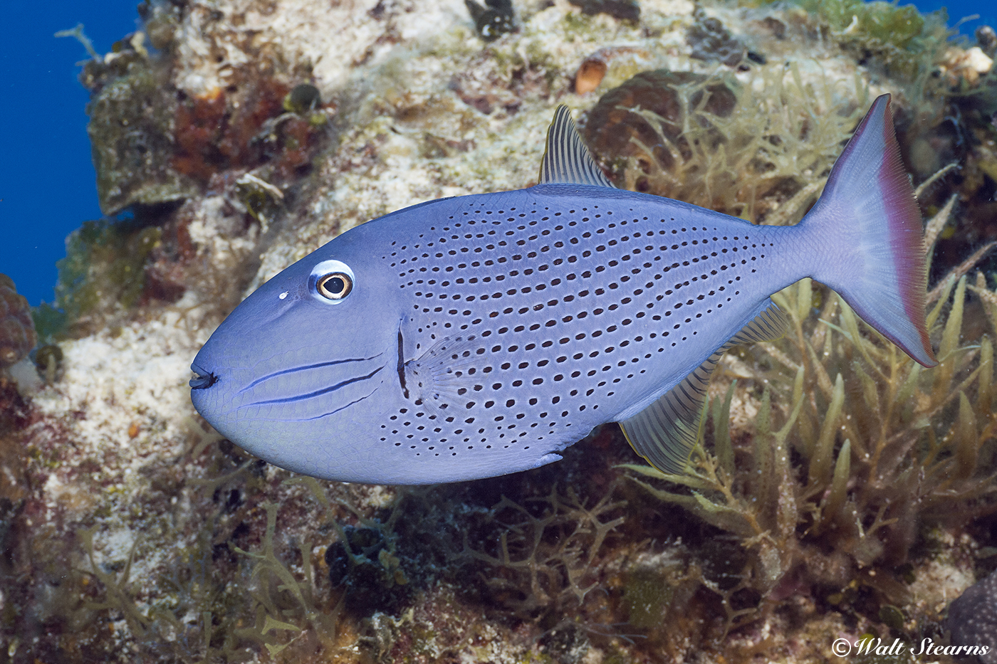 As they mature, sargassum triggerfish move from floating weed patches onto reefs, where they can usually be found in depth from 70 feet on down to 200-plus.