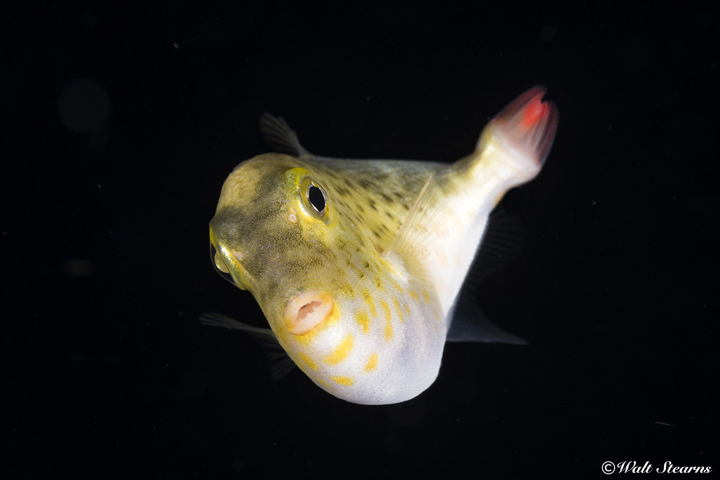 A juvenile sargassum triggerfish uses its yellow coloration to blend into the floating beds of sargassum weeds where it spends its first months of life, feeding on plankton and hunting small invertebrates.