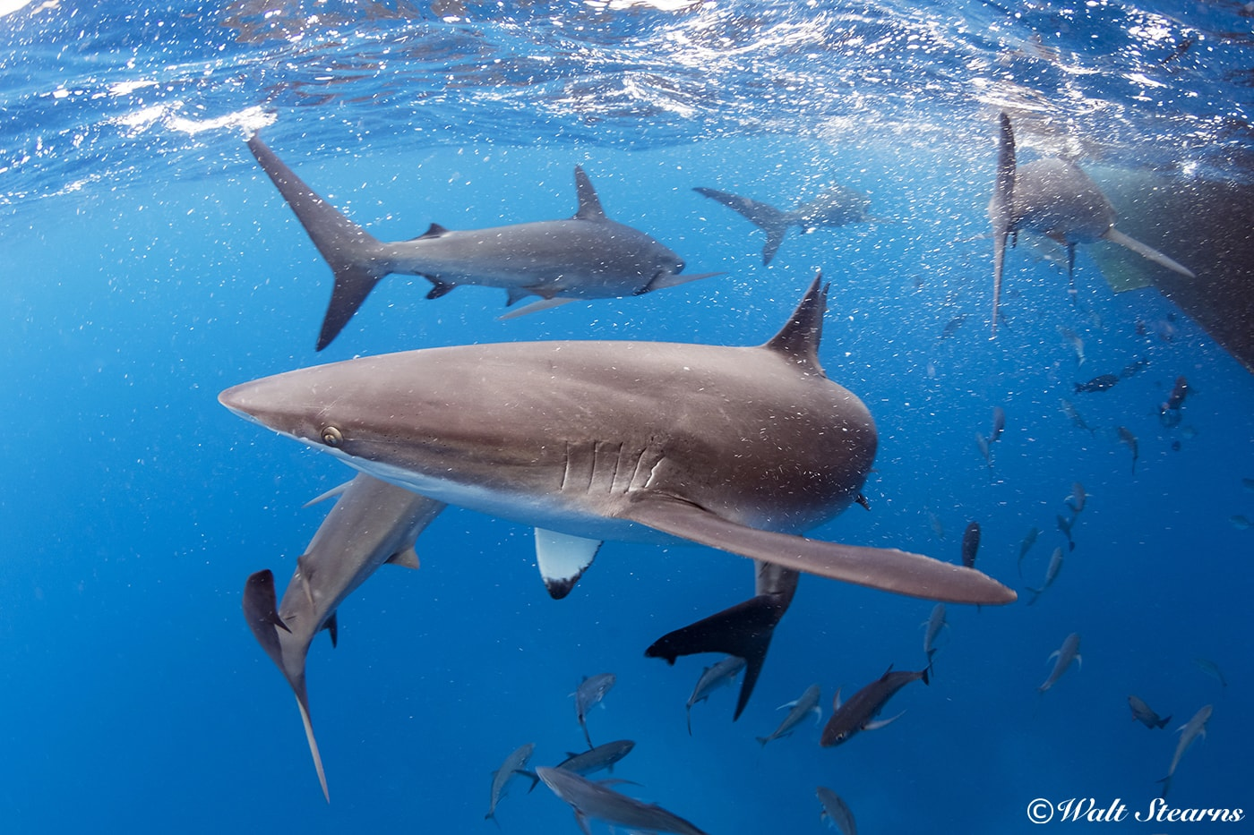 Silky sharks are not usually considered a coastal species, but they can be found along the shores of a number of the islands of the Galapagos, as well as right next to the Galapagos Sky itself.
