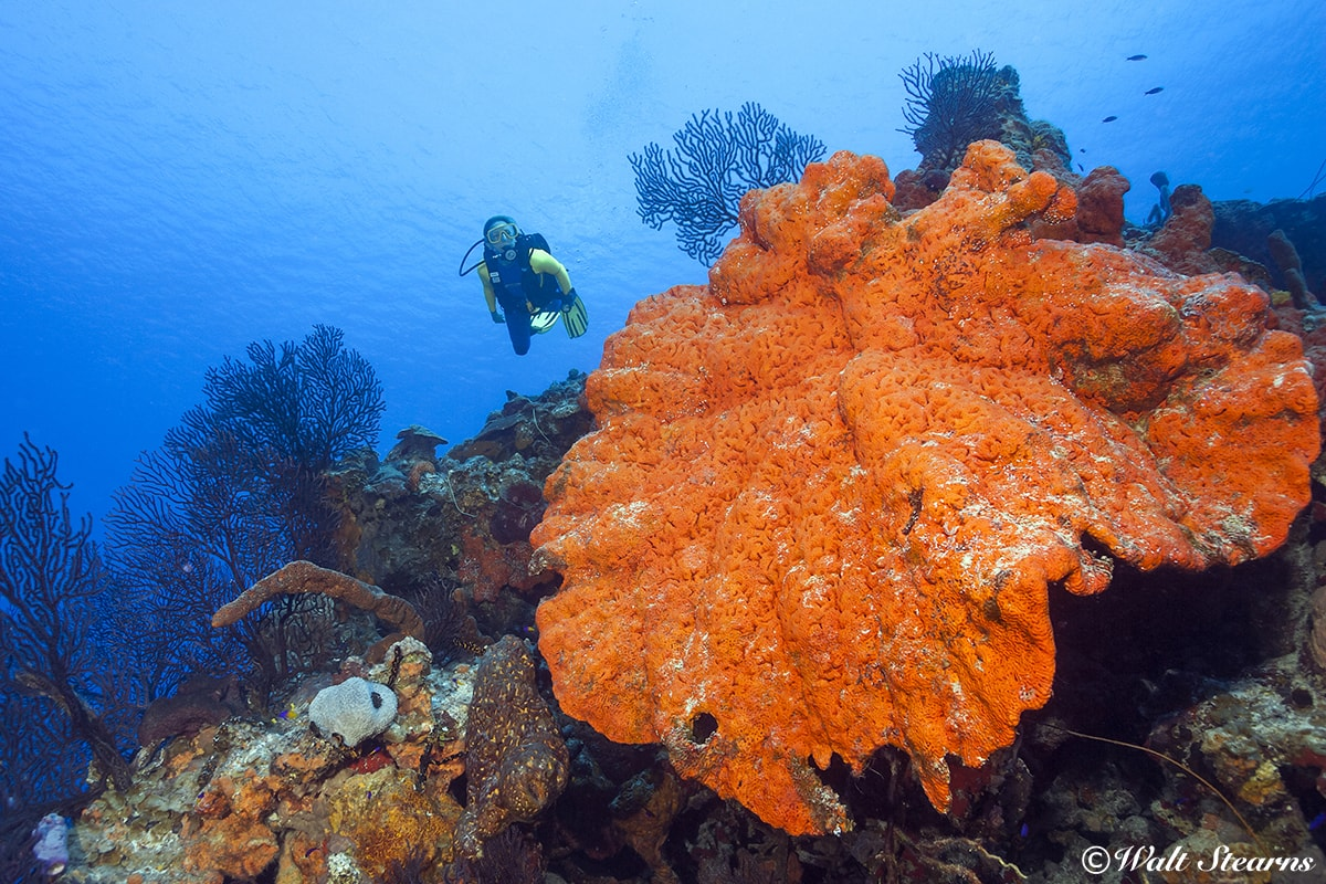 Sponges such as this large elephant ear specimen found on a reef in the Cayman Islands can grow to more than six feet across and live for 100 years.