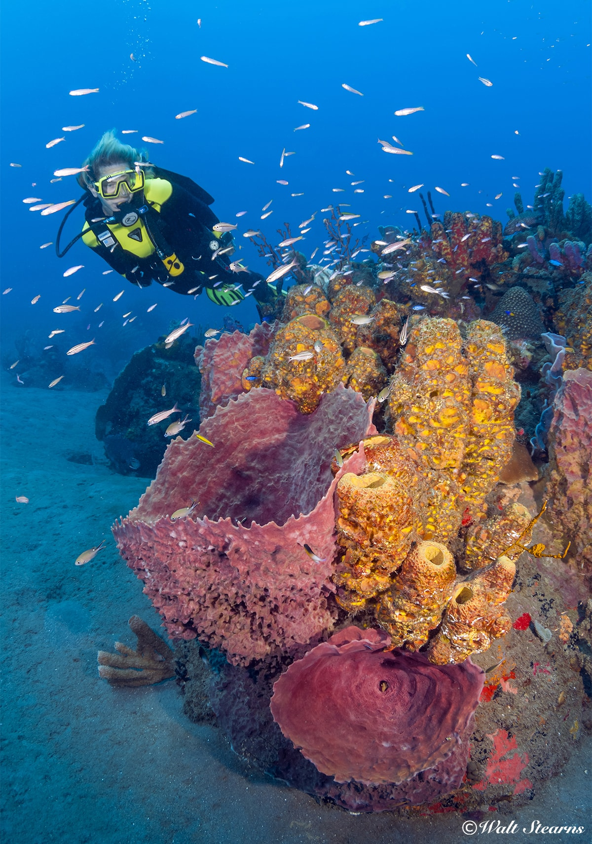 Sponges not only add color to the reef, they are highly efficient filter feeders that remove organic matter from the water.