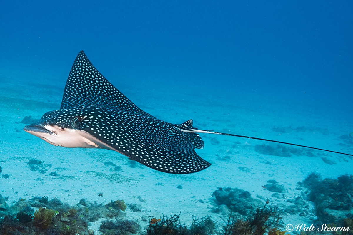 An eagle ray glides across the sandy shallows of Turneffe Atoll.