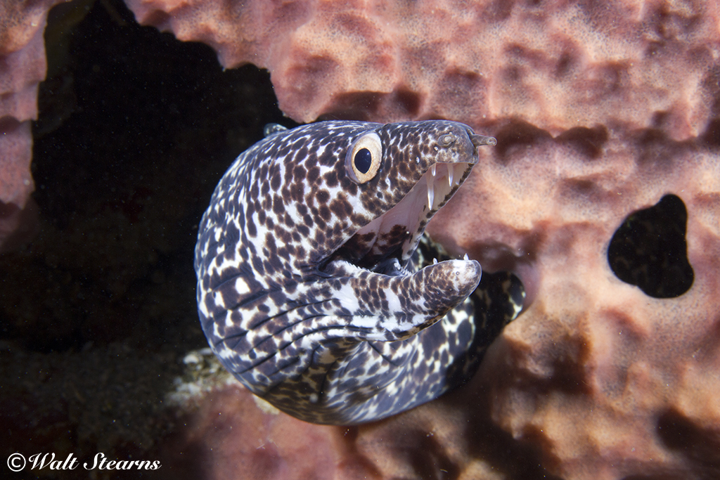 Spotted moray eel on the Lesleen M Wreck