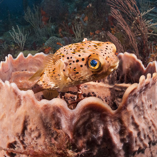 The Spiny puffer, also known as the burrfish, is a common sight on Caribbean Reefs. Unlike many puffers, its spikes are still visible when they are not deployed.