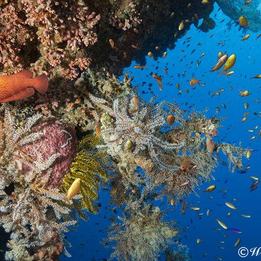 Reef Wall in Raja Ampat