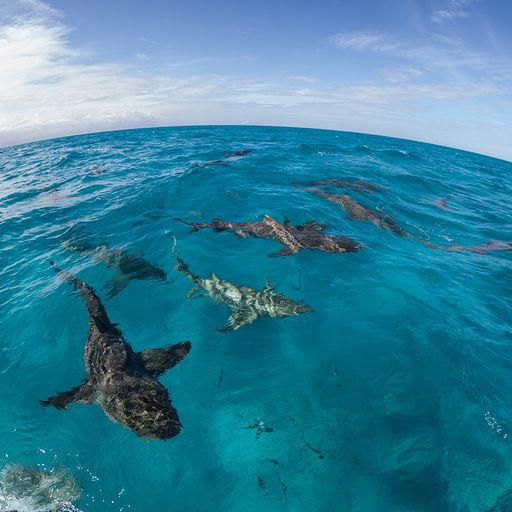 Sharks in the Bahamas