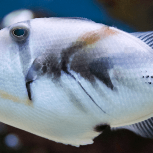Up close view of a Picasso Triggerfish