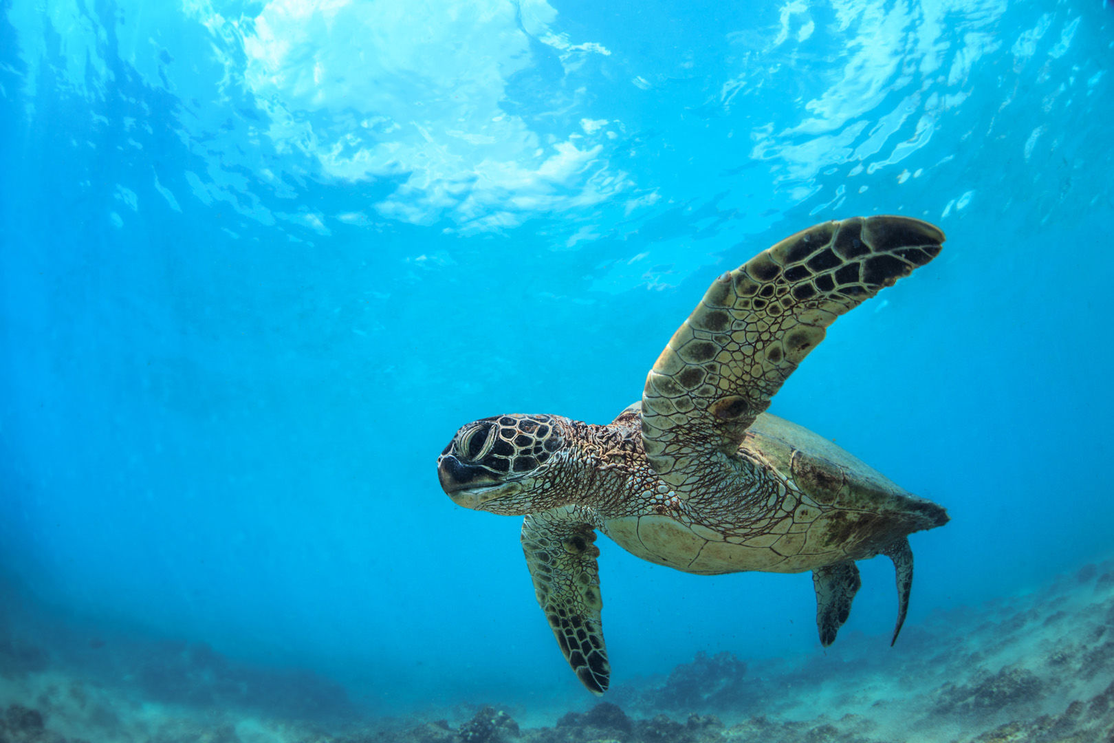 Hawaii is America's own Pacific paradise where divers have ample opportunities to see many favorites such as manta rays and spinner dolphins to friendly sea turtles at sites close to shore