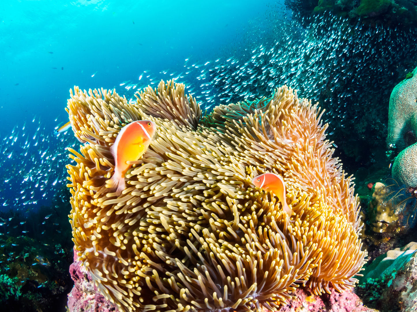 As destinations go PNG can please big animal enthusiasts, reef lovers and critter hunters alike through some of the most prolific and pristine coral growth in the world.