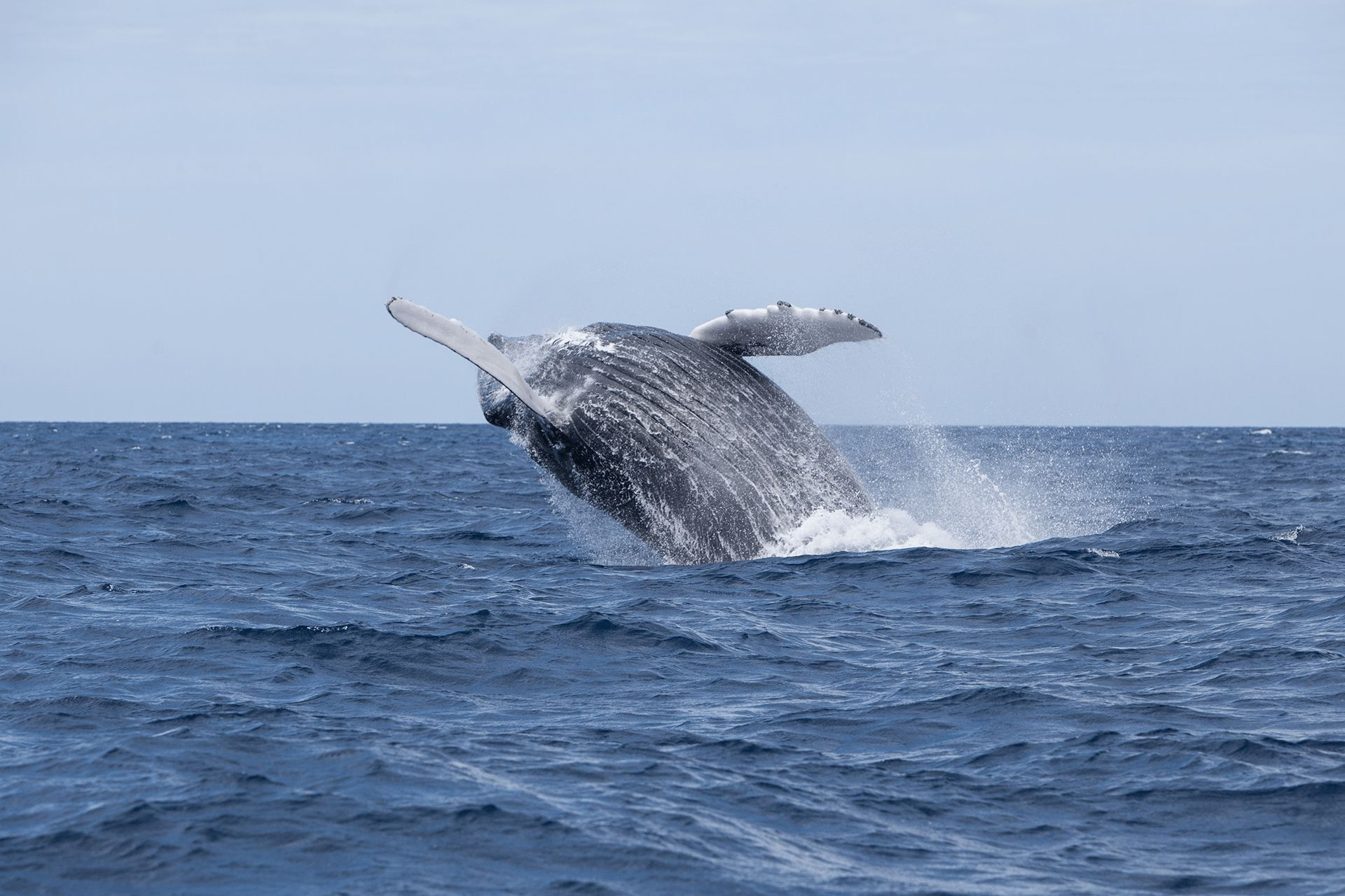 Migrating Humpbacks in Guadeloupe