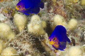 Cherub Fish in St. Lucia
