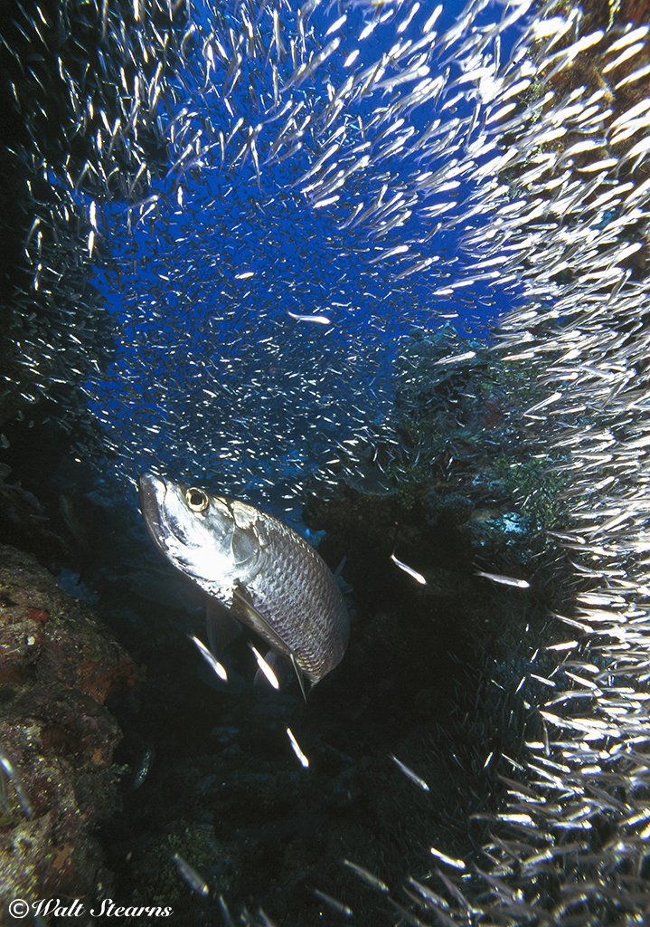 During the summer months, grottoes are often filled with swirling clouds of small silversides, which are then preyed upon by large tarpon.