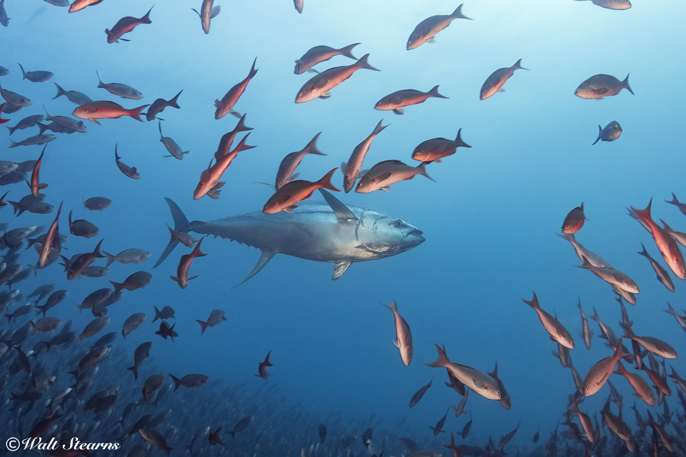 The Galapagos Islands are one of the few dive destinations where there is a good chance of seeing open-water species such as yellowfin tuna.