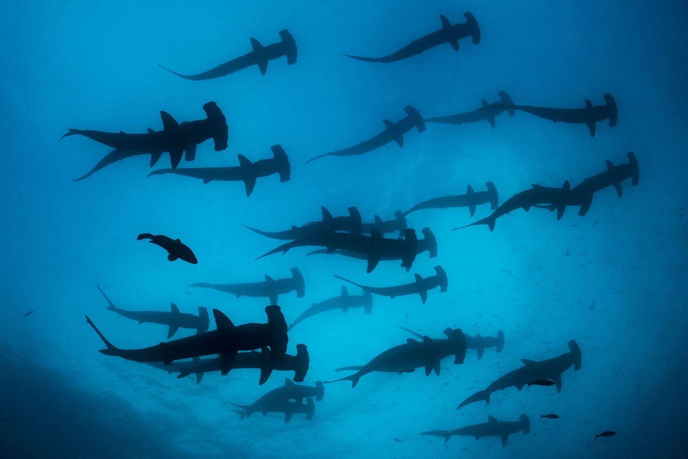 The Galapagos Islands are one of the few places in the world where divers can encounter large schools of scalloped hammerhead sharks.
