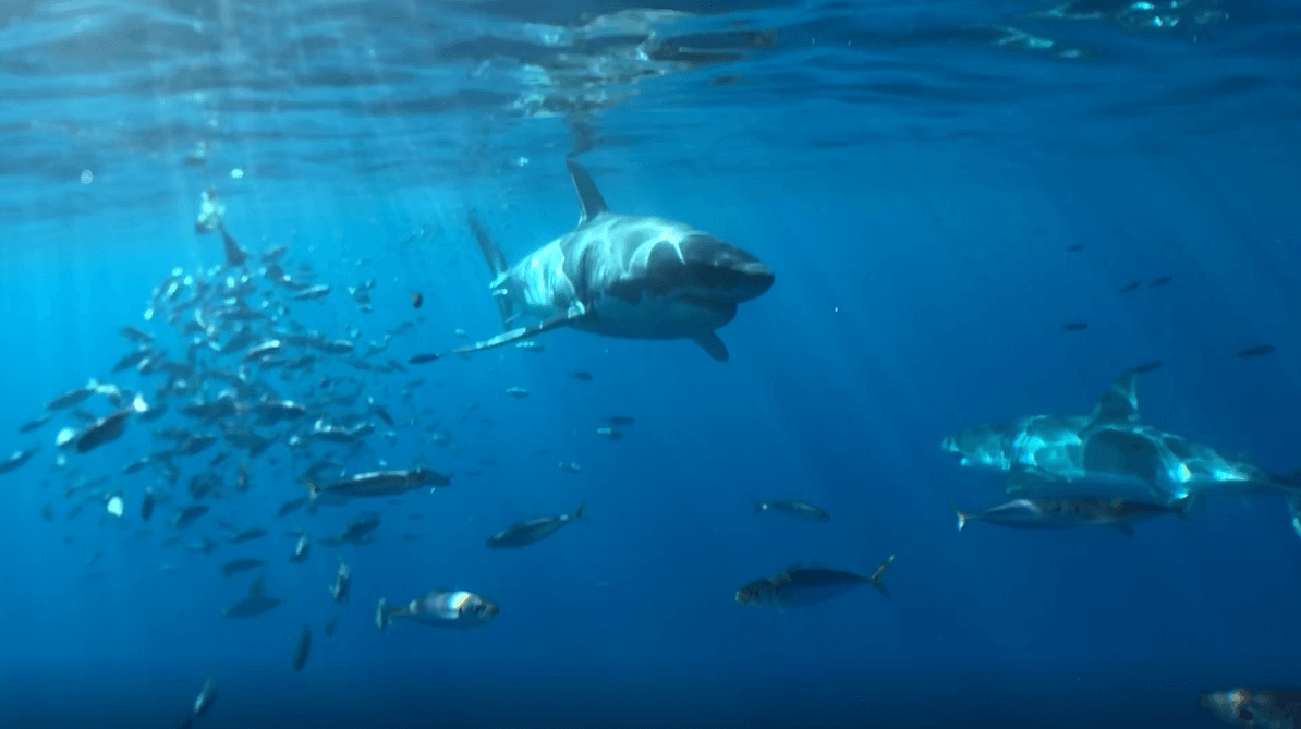 Get a preview of what to expect at Guadalupe Island by watching this short clip.