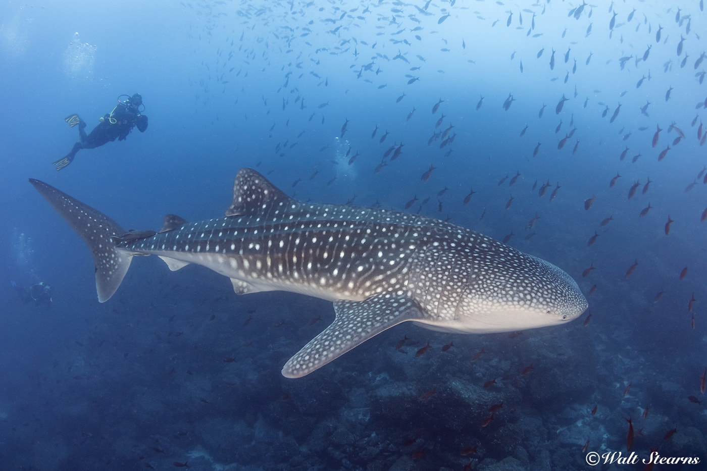 There is a chance of seeing whale sharks at any time of year, but the odds increase when cooler waters arrive in the months from July through November.