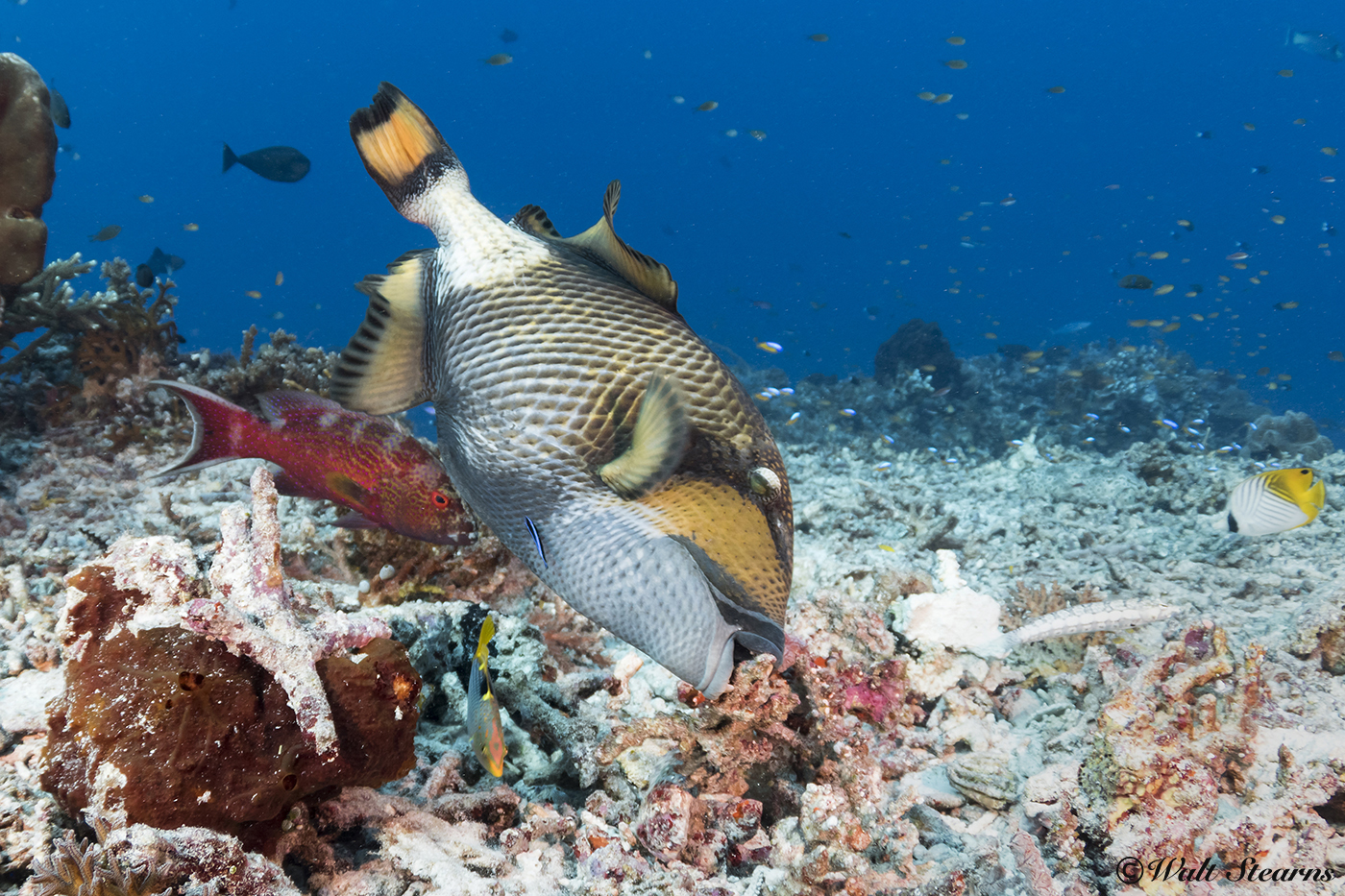 The titan triggerfish can often be seen turning over rocks and bits of coral rubble to expose a meal. Here. It is using those same excavating talents to create a nest in anticipation of the spawning season.