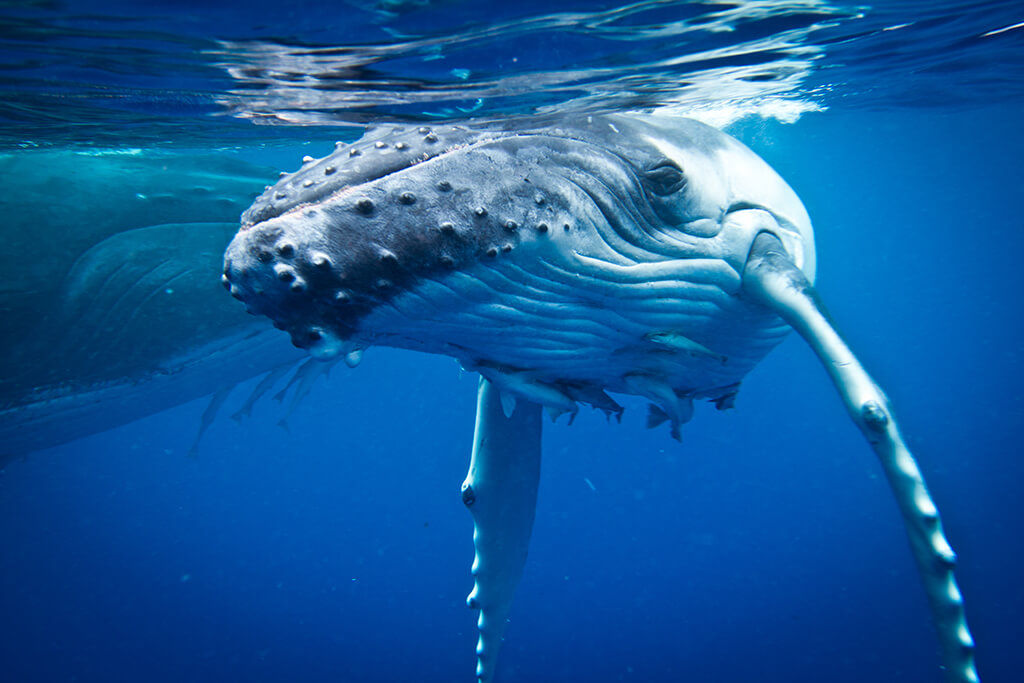 Humpback calves are often curious and may approach swimmers for a closer look.