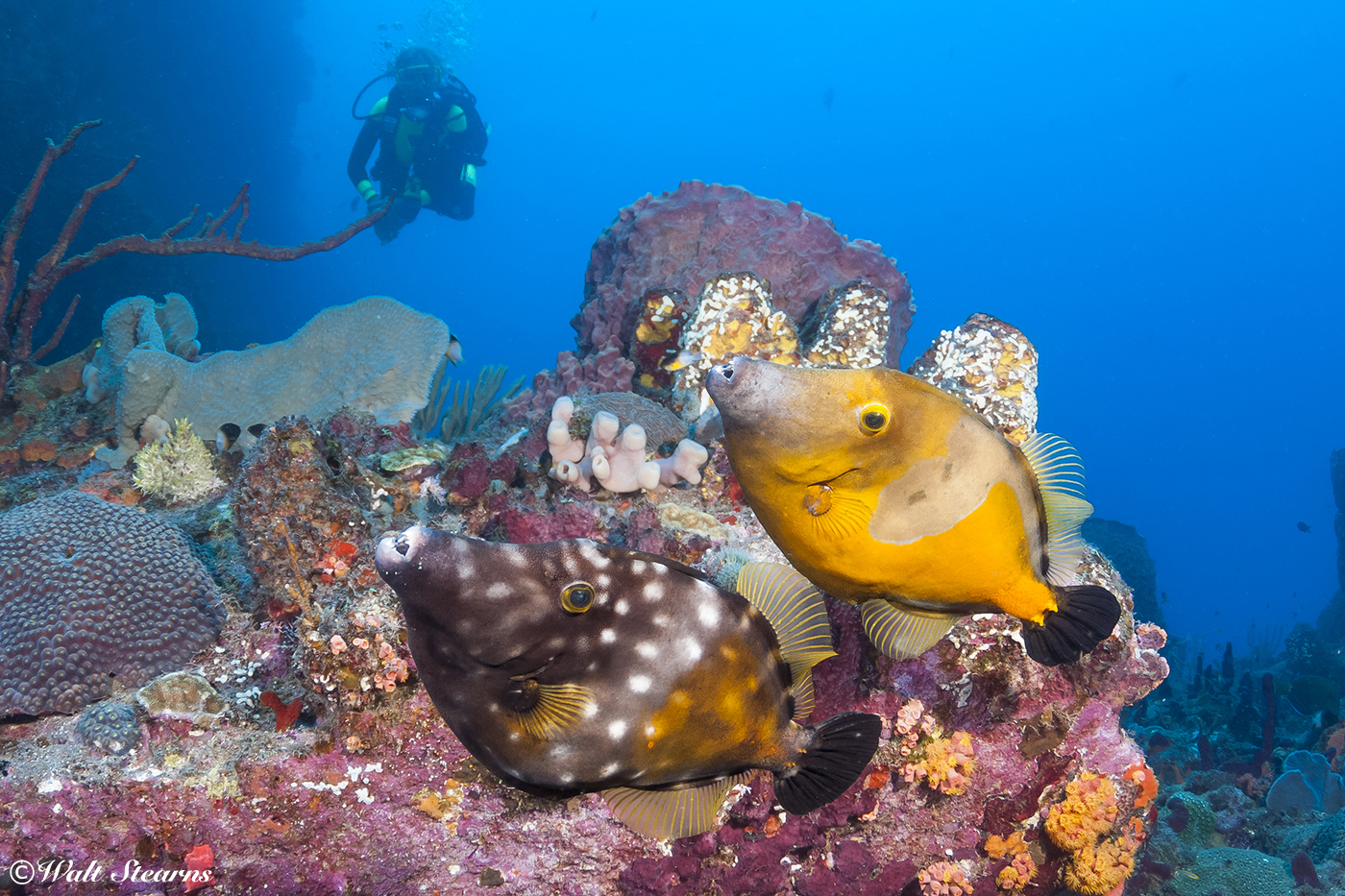 Same species, different colors. The white-spotted filefish can change the color of its skin and the prominence of its spots to match its surroundings, going from orange to dull brown and even a pale gray.