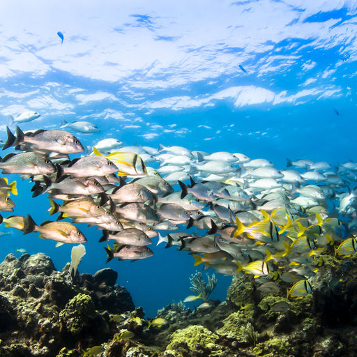 School of beautiful reef fish swimming over a coral reef in Aruba
